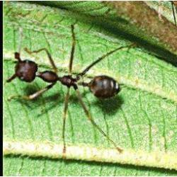 Ant (mier)